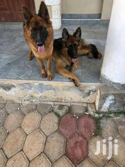 Pedigree German Shepherd For MATING Or STUD SERVICE"