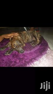 Virgin Female Boebull For Sale | Dogs & Puppies for sale in Greater Accra, East Legon