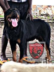 Male Rottweiler For Crossing (XL Size) | Dogs & Puppies for sale in Greater Accra, Kwashieman