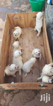 Pure Breed Poodles 4SALE | Dogs & Puppies for sale in Greater Accra, East Legon