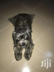Yorkshire Terrier For Crossing.. 5years | Dogs & Puppies for sale in Central Region, Awutu-Senya