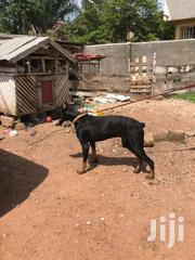 Pure Male Doberman For Stud. | Dogs & Puppies for sale in Greater Accra, Kwashieman