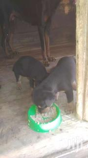 Rottweiler Puppy For Sale | Dogs & Puppies for sale in Greater Accra, Mataheko