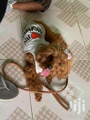 Poodle | Dogs & Puppies for sale in Greater Accra, Tema Metropolitan