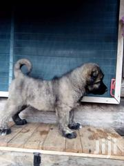 Caucasian Shepard Puppies   Dogs & Puppies for sale in Greater Accra, Airport Residential Area