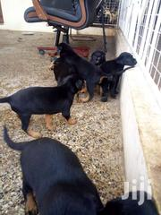 Doberman/Shepherd | Dogs & Puppies for sale in Greater Accra, Tesano