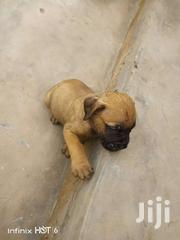 German Shepard  Dog | Dogs & Puppies for sale in Greater Accra, Odorkor