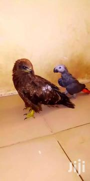 Eagle | Other Animals for sale in Greater Accra, Adenta Municipal