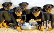 Female Rottweiler Puppies | Dogs & Puppies for sale in Ashanti, Kumasi Metropolitan
