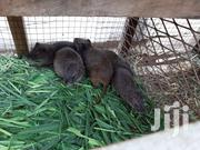 Good Breeding Grasscuter | Other Animals for sale in Greater Accra, East Legon