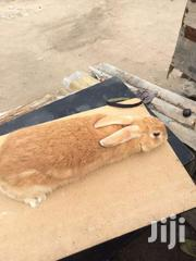 Rabbit | Livestock & Poultry for sale in Greater Accra, Dansoman