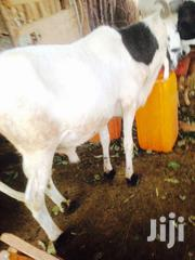 Animal | Other Animals for sale in Northern Region, Yendi