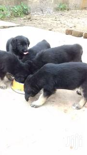 Pure Aggressive Shepherd Puppies | Dogs & Puppies for sale in Greater Accra, Kwashieman