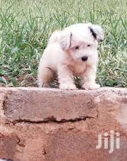 Puppy For Sale At Cool Price | Dogs & Puppies for sale in Western Region, Shama Ahanta East Metropolitan