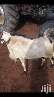 Sheep | Livestock & Poultry for sale in Northern Region, Yendi