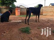 Female Doberman | Dogs & Puppies for sale in Greater Accra, Adenta Municipal