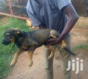 German Shepherd Puppies Available | Dogs & Puppies for sale in Ashanti, Atwima Kwanwoma