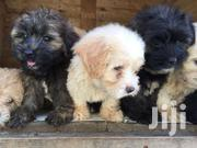 Poodle | Dogs & Puppies for sale in Western Region, Ahanta West
