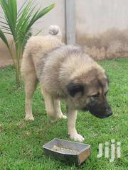 Male Caucasian Shepherd For Crossing | Dogs & Puppies for sale in Greater Accra, Ga East Municipal