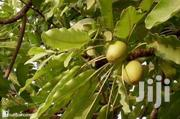 Shea Nuts And Butter | Landscaping & Gardening Services for sale in Northern Region, Tamale Municipal