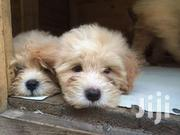 Poodle Puppies | Dogs & Puppies for sale in Greater Accra, Osu