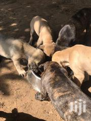Boerboel Puppies | Dogs & Puppies for sale in Greater Accra, Tema Metropolitan