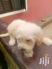 Pet- White Poodle | Dogs & Puppies for sale in Greater Accra, Ashaiman Municipal