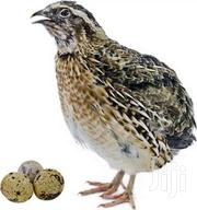 Quails | Livestock & Poultry for sale in Eastern Region, Yilo Krobo