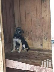 German Shepherd | Dogs & Puppies for sale in Greater Accra, Adenta Municipal