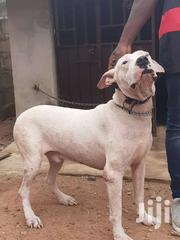 Male Dogo | Dogs & Puppies for sale in Greater Accra, Adenta Municipal