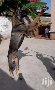 German Shepherd Male Dog Ready For Crossing   Dogs & Puppies for sale in Greater Accra, Dansoman