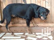 Female Rottweiler Available For Sale | Dogs & Puppies for sale in Greater Accra, Adenta Municipal