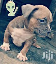 American Bully Puppies   Dogs & Puppies for sale in Greater Accra, Odorkor