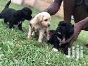 Full Breed Poodle Puppies | Dogs & Puppies for sale in Greater Accra, Dansoman