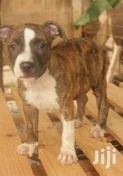 Female Pitbull Terrier Puppies | Dogs & Puppies for sale in Greater Accra, Ga East Municipal