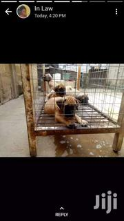 Boerbull Puppys Available | Dogs & Puppies for sale in Greater Accra, Adenta Municipal