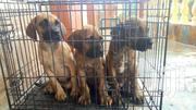 9 Weeks Puppies Available | Dogs & Puppies for sale in Brong Ahafo, Kintampo North Municipal