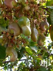 Cashews Farms For Sale | Feeds, Supplements & Seeds for sale in Brong Ahafo, Wenchi Municipal