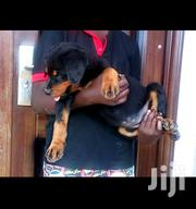 Female Rottweiler | Dogs & Puppies for sale in Greater Accra, Achimota