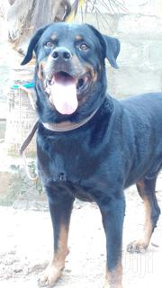Pure Rottweiler Male for Crossing | Dogs & Puppies for sale in Greater Accra, Ga South Municipal