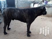 Boerboel Male for Crossing | Dogs & Puppies for sale in Greater Accra, Ga South Municipal