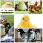 Day Old Chicks All Kinds | Livestock & Poultry for sale in Greater Accra, Accra Metropolitan