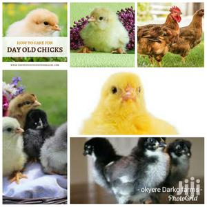 Day Old Chicks All Kinds