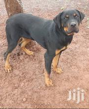 Male Rottweiler for Sale | Dogs & Puppies for sale in Greater Accra, Adenta Municipal