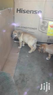 Boerboel Males And Females | Dogs & Puppies for sale in Greater Accra, Cantonments