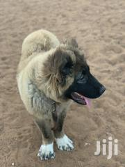 Pedigree Caucasian Shepherd | Dogs & Puppies for sale in Greater Accra, Teshie-Nungua Estates