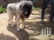 Female Caucasian Sherphed | Dogs & Puppies for sale in Greater Accra, Dansoman