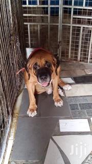 Boerboel | Dogs & Puppies for sale in Greater Accra, East Legon