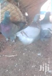 French Mondain Pigeon | Birds for sale in Greater Accra, Adenta Municipal
