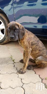 Pure Breed Female Boerboel Puppy | Dogs & Puppies for sale in Greater Accra, Tesano